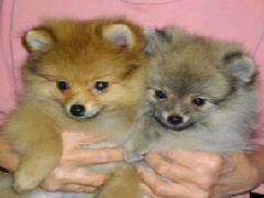 犬の専門店hana (さいたま市見沼区) (ドッグホテル・ペットショップ)